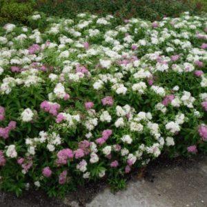Спирея японская Генпэй (Ширабана) <br>Spiraea japonica Genpei