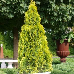 Туя западная Голден Смарагд <br>Thuja occidentalis Golden Smaragd