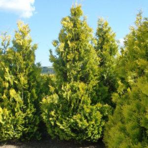 Туя западная Еллоу Риббон <br> Thuja occidentalis Yellow Ribbon