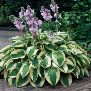 Хоста Вайд Брим <br>Hosta Wide Brim