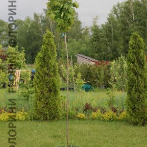 Клен остролистный Глобозум <br>Acer platanoides Globosum