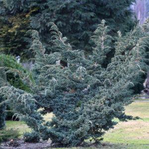 Можжевельник чешуйчатый Майери <br>Juniperus squamata Meyeri