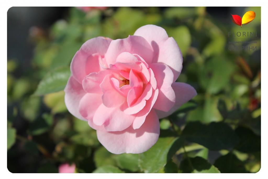 Роза Боника 82 в Воронеже