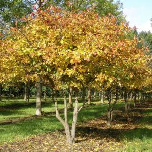 Боярышник сливолистный (дерево) <br>Crataegus prunifolia