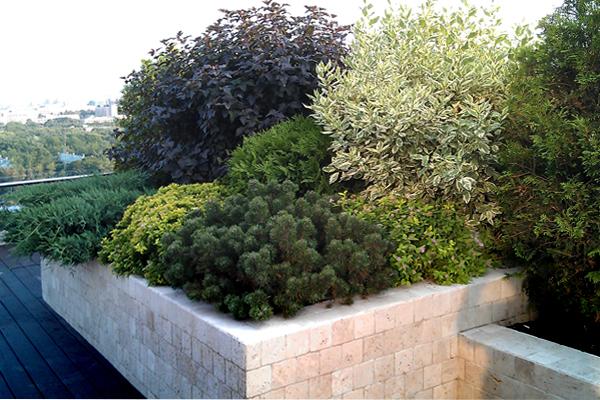 Сочетание дерена с хвойными и листопадными кустарниками
