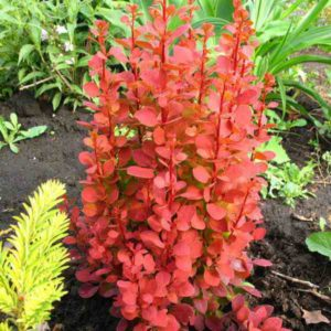 berberis-thunbergii-Orange-rocket
