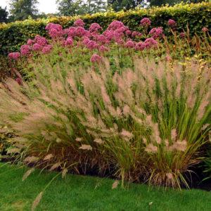Вейник коротковолосистый <br>Calamagrostis brachytricha