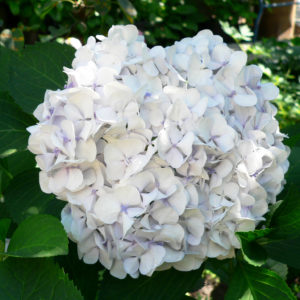 Гортензия крупнолистная<br/> Hydrangea macrophylla Soeur Therese