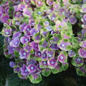 Гортензия крупнолистная<br/> Hydrangea macrophylla 'Magical Amethyst