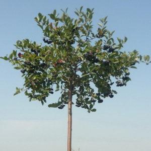 Рябина черноплодная на штамбе (арония) <br>Aronia melanocarpa