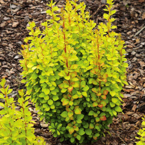 berberis-golden-rocket