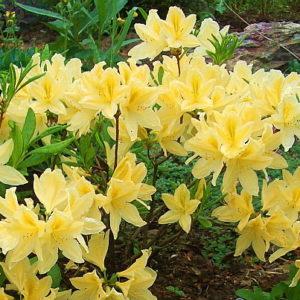 Рододендрон японский желтый <br>Rhododendron japonicum