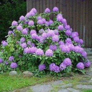 Рододендрон Грандифлорум <br>Rhododendron Grandiflorum