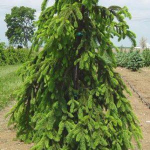 Ель обыкновенная Инверса <br> Picea abies Inversa