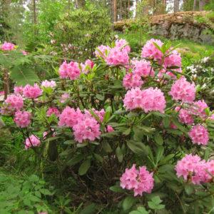 Рододендрон Хельсинский Университет<br>Rhododendron Helsinki University