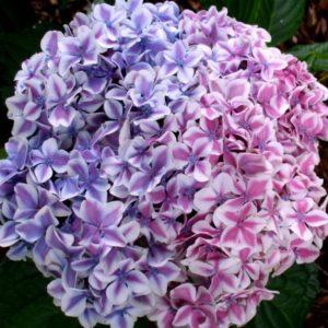 Гортензия крупнолистная Пеперминт эндлесс саммер<br/> Hydrangea macrophylla Peppermint Endless Summer