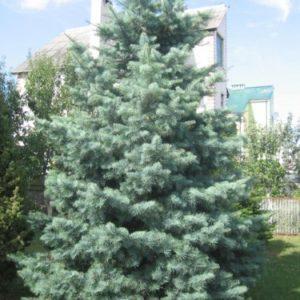 Пихта одноцветная Глаука<br>Abies concolor Glauca