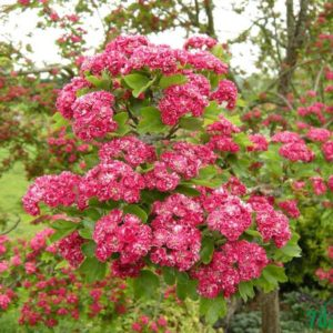 Боярышник однопестичный Пул Скарлет <br>Crataegus Paul Scarlett