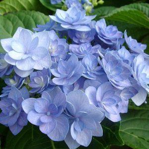 Гортензия крупнолистная Романс Блю<br>Hydrangea macrophylla Romance blue