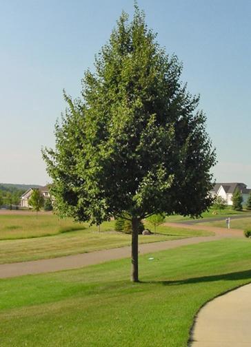 Request A Tree  Saskatoonca