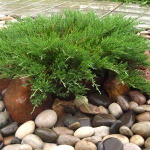 Можжевельник Андорра Компакт<br>Juniperus Andorra Compact