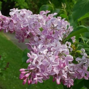 Сирень гиацинтовая Бюффон<br>Syringa hyacinthiflora Buffon