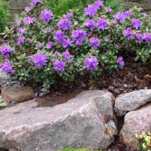 Рододендрон Азурика<br> Rhododendron Azurica