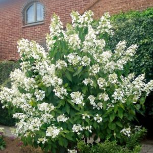 Гортензия метельчатая Левана<br>Hydrangea paniculata Levana