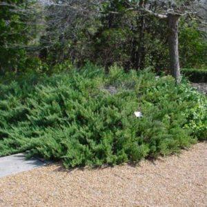Можжевельник горизонтальный Принц оф Валес<br>Juniperus horizontalis Prince of Wales