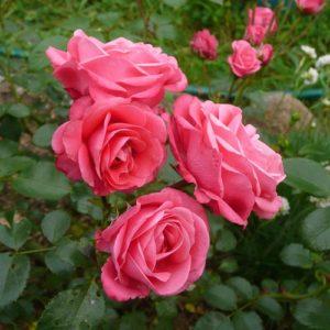 Роза флорибунда Белла Роза <br>Rosa floribunda Bella rosa