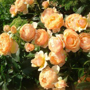 Роза флорибунда Амбер Квин<br> Rosa floribunda Amber Queen