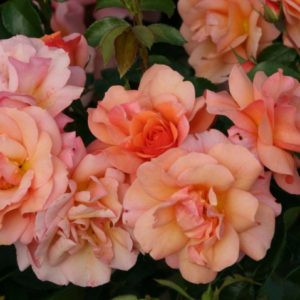 Роза флорибунда Априкола <br>Rosa  floribunda Aprikola
