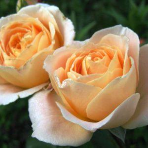Роза флорибунда Амбер Абундэнс<br> Rose floribunda Amber Abundance