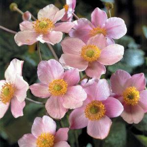 Анемона войлочная Робустиссима<br>Anemone tomentosa Robustissima