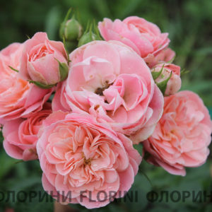 Роза флорибунда Байландо<br> Rosa floribunda Bailando