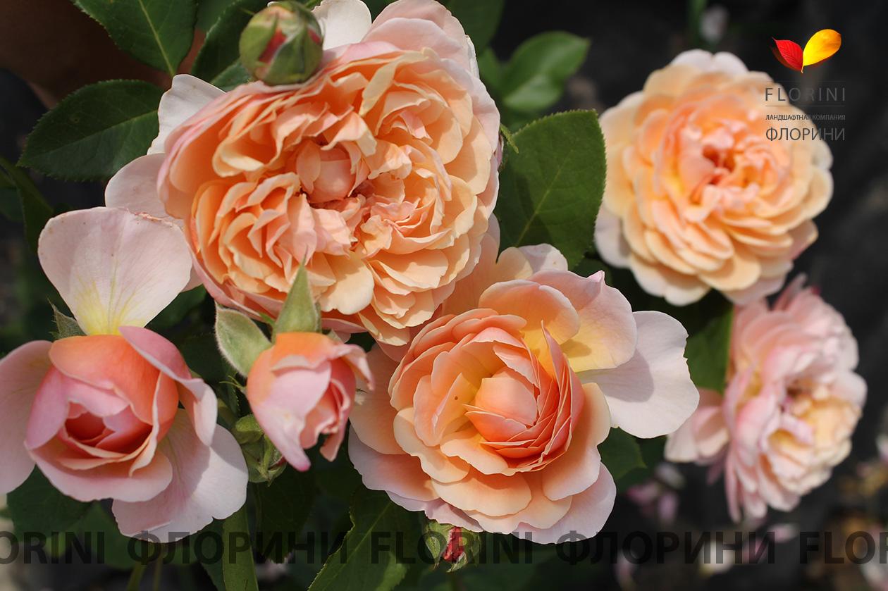 парфюм орлеанс роза