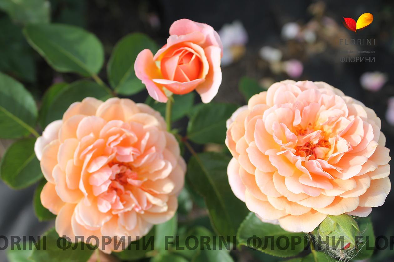 роза парфюм де орлеанс