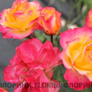 florini-2016-09-25-roza-landlust-02