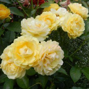 Роза флорибунда Анисайд <br>Rose floribunda Anisade