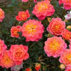 Роза миниатюрная Мандарин <br>Rose liliput  Mandarin