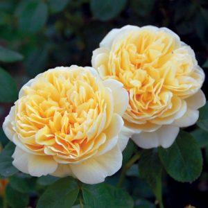 английские-розы-Шарлотта