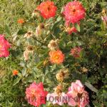 florini-2016-07-10-roza-mandarin-02