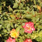 florini-2016-08-25-роза-мандарин-01