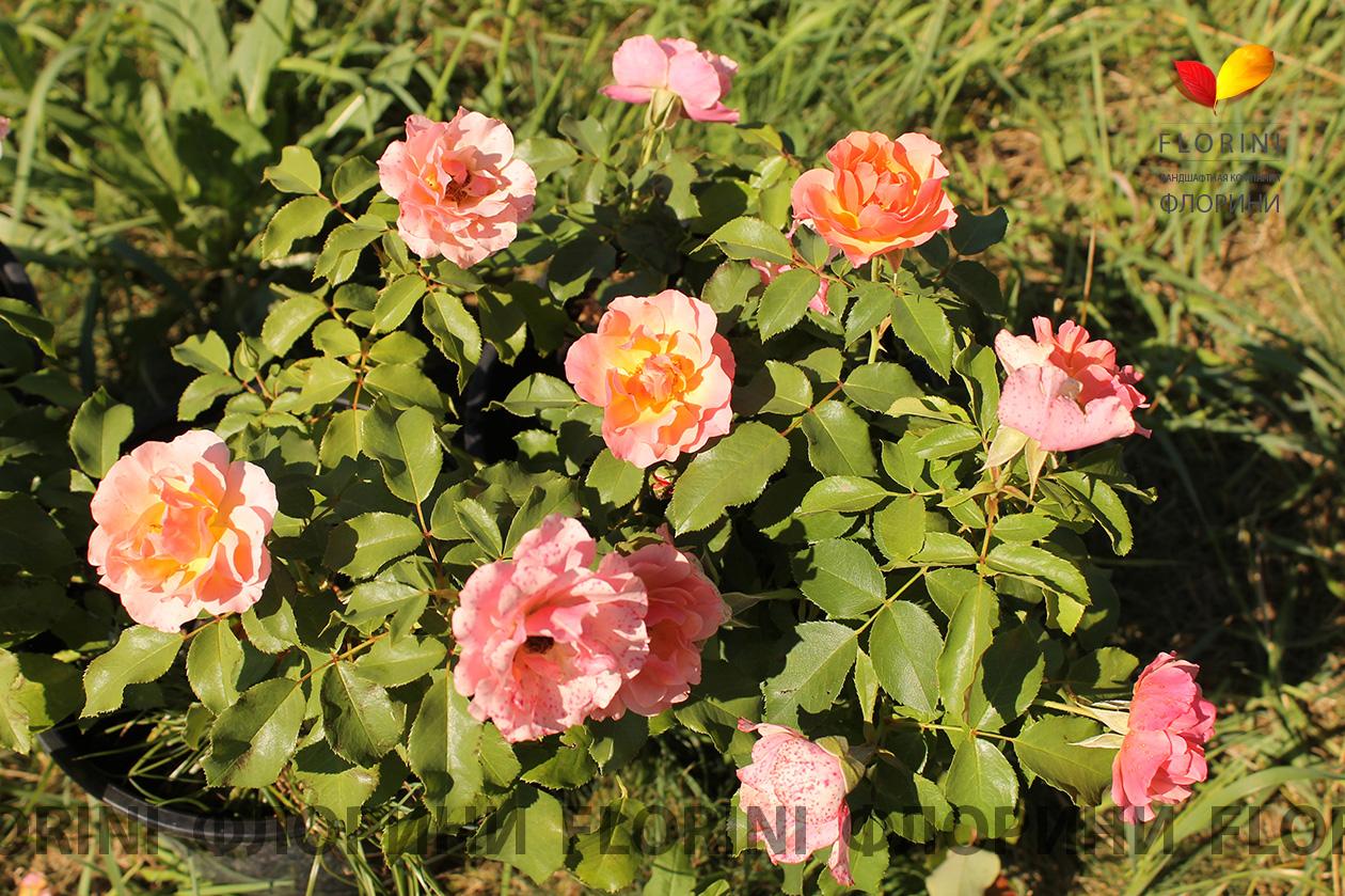 Как вырастить штамбовую розу? 1