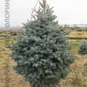 Ель колючая Глаука <br>Picea pungens Glauca