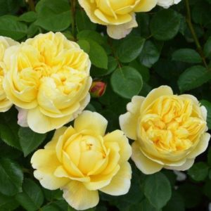 rose-charles-darwin-david-austin-shrub-rose-ab5
