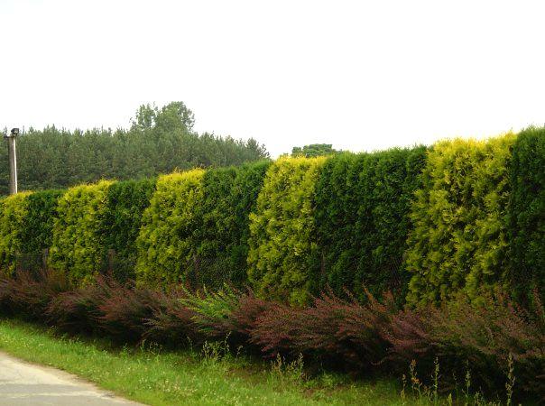 Что такое живая изгородь и кто такой Кунэюсури?