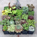 hardy-succulent5