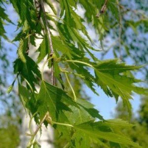 Береза повислая Криспа <br>Betula pendula Crispa