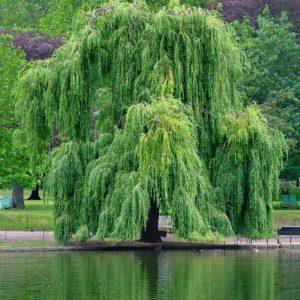 Ива Водопад <br>Salix Vodopad